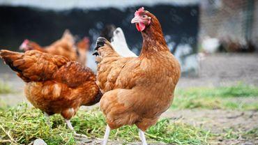 Un poulailler bio de 9.600 bêtes verra-t-il le jour à Durnal ? Réponse: fin avril.