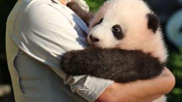 Tian Bao est né le 2 juin 2016, à 2h02… Depuis, il a bien grandi !