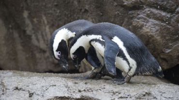 Un couple de pingouins homosexuels du zoo de Berlin va accéder à la paternité