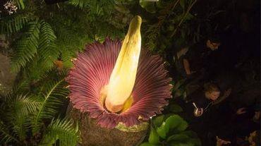 Une fleur puante au Jardin Botanique de Meise !