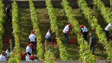 Les quantités de raisin sont affectées un peu partout en Wallonie à cause des conditions météorologiques exécrables en 2016.