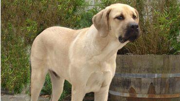 Le mâtin belge : une race de chien en pleine reconstruction
