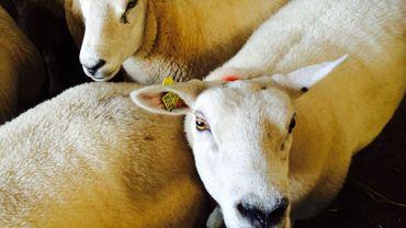Pour la fête du sacrifice, les moutons doivent avoir des caractéristiques bien précises. (Photo RTBF - M. Mélon)