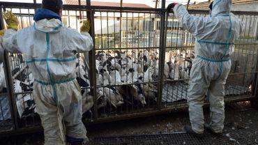 Le virus H5N8 circule presque partout en Europe : mesures, risques et précautions