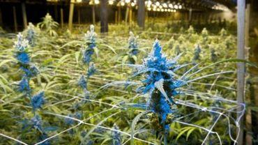 Une plantation et 39 kilos de cannabis découverts à Dison (Image d'illustration)
