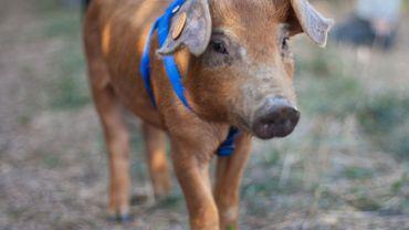 Barback, le petit cochon rescapé par une influenceuse, a rejoint un sanctuaire pour animaux