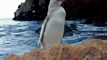 """Equateur: Un """"rare"""" manchot blanc découvert dans l'archipel des Galapagos"""