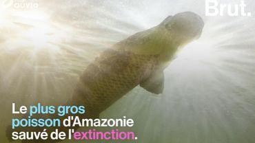 Le plus gros poisson d'Amazonie est sauvé de l'extinction
