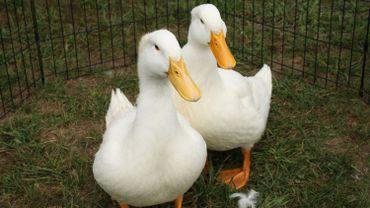 Un cas de grippe aviaire a été détecté à Hertain, dans l'entité de Tournai.