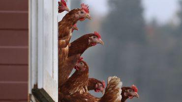 Maladie de Newcastle: les exportations de volailles pourront reprendre vers tous les pays