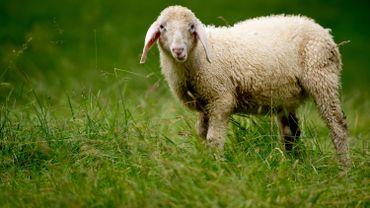 France: la justice saisie de la vente illégale d'un agneau OGM sur le marché alimentaire