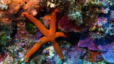 Une étoile de mer sur les fonds de l'île Calseraigne, près de Marseille, le 23 septembre  2018
