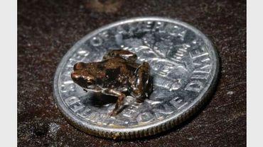 Une grenouille, plus petit vertébré connu à ce jour sur la planète, sur une pièce d'un cent américain