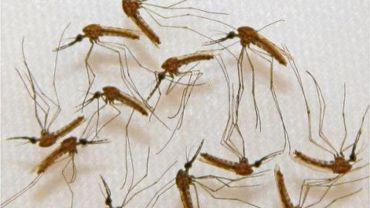Des moustiques infectés par le paludisme