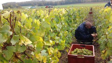 La première récolte dans les vignobles du Chant d'Eole, c'était à Quévy en 2013