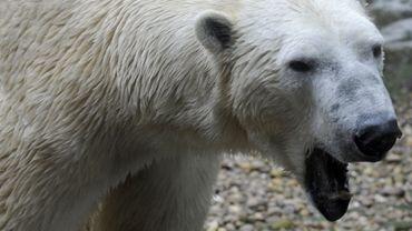 Un ours polaire du zoo d'Amnéville, le 25 février 2011.