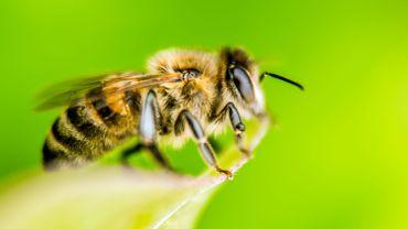 """La Belgique franchit un premier pas vers l'interdiction des produits """"tueurs d'abeilles"""""""