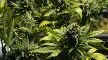 Des plans de cannabis