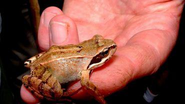 Jugement clément pour les arracheurs de pattes de grenouilles (Illustration)