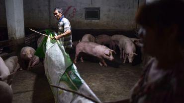 Chine: 38.000 porcs abattus, l'épidémie de peste porcine africaine s'étend dans le pays