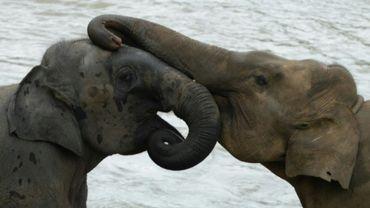 Des éléphants jouent durant leur bain quotidien dans la rivière au sanctuaire d'éléphants de Pinnawala, le 11 août 2020.