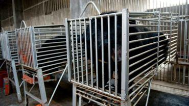 Des ours en cage, prêts à recevoir un drain de leur vésicule biliaire, à Hui'an, dans le sud-ouest de la Chine, le 22 janvier 2012