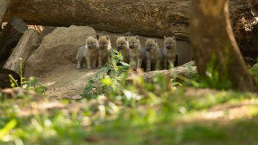 Coronavirus: ouverture du parc animalier à Han-sur-Lesse, les grottes devront attendre