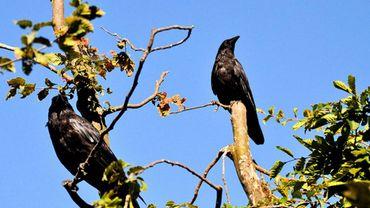 Corneilles, pies, cormorans, blaireaux et hérons dans le viseur des chasseurs