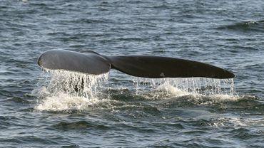 La baleine boréale aperçue au large de la côte belge potentiellement gênée par un filet