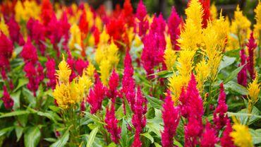 Plante d'intérieur du mois : le celosia