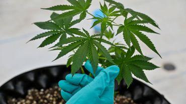Le cannabis retiré par l'Onu de la liste des drogues les plus dangereuses