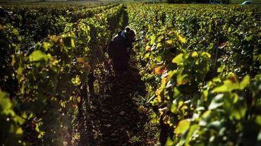 Un vignoble en Bourgogne au moment des vendanges, photographié le 7 octobre 2013