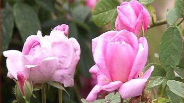 """Rosa """"Ispahan"""", une des préférées de Françoise"""