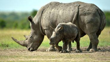 Une femelle rhinocéros blanc du Sud avec son enfant au Kenya le 14 juin 2015