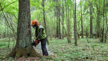 Une des dernières forêts primaires d'Europe menacée par des coupes illégales