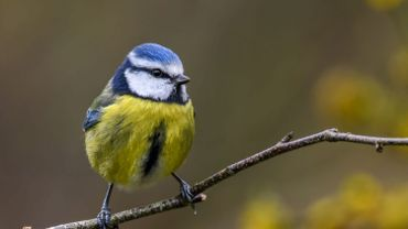 50% des espèces d'oiseaux les plus répandues de Wallonie sont en déclin, s'inquiète Natagora