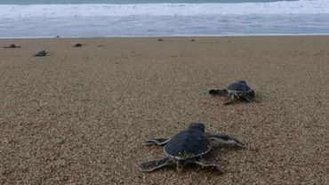 Des petites tortues s'élancent vers la liberté sur une plage d'Indonésie.