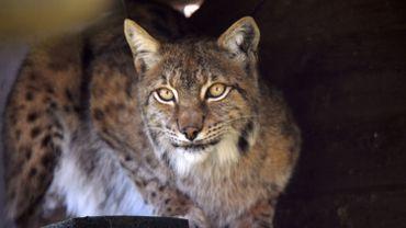 Lynx et panthères traînent mystérieusement la patte en Floride.