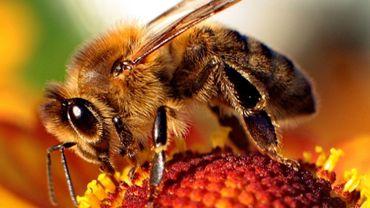 Les abeilles en péril face à un nouveau pesticide autorisé en Europe