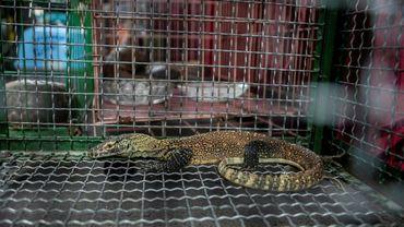Un jeune dragon de Komodo est montré dans une cage lors d'une conférence de presse annonçant l'arrestation de trafiquants d'animaux sauvages à Surabaya le 27 mars 2019
