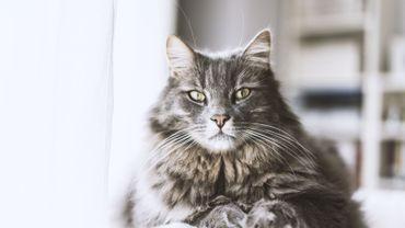 Chat en surpoids : 3 trucs pour les faire maigrir sans les affamer