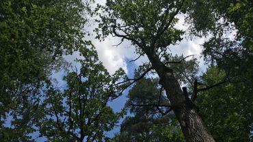 La forêt primaire de Bielowieza en Pologne, un des derniers exemples en Europe (Photo lden)
