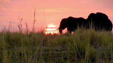 Botswana: les éléphants de la discorde