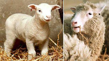 Polly (à gauche) et Dolly (à droite), les deux premières brebis clonées nées la même à Édimbourg