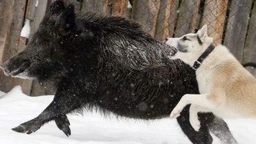 Un chien à la chasse au sanglier