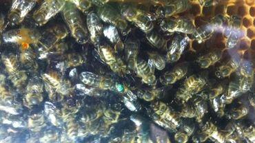 L'abeille noire, une espèce bien belge