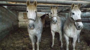 """Les 4 chevaux hébergés à l'asbl """"Animal sans toit"""" de Faimes vont bientôt retrouver leur propriétaire"""