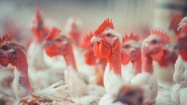 Près de 76 000 poules pondeuses périssent dans un incendie aux Pays-Bas