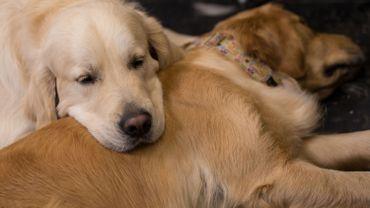 Les produits chimiques pour gazon à l'origine de certains cancers chez les chiens