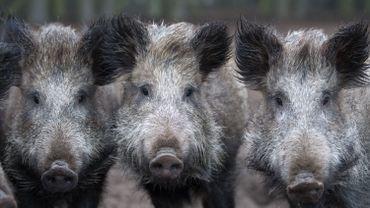 Peste porcine africaine: la filière viande se constitue partie civile